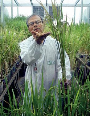转基因大米的异域命运